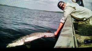 This 52″ Tiger musky was caught and released in Vilas County Wisconsin by Client Matt Witt of Chicago, IL.  The fish was 1/2 INCH SHORTER THAN THE MODERN DAY WORLD RECORD!!!  August 2, 2014.